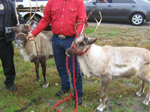 This Wednesday, Dec. 14, 2011 photo provided by the Webster, Texas, Police Dept. shows two recovered reindeer in Webster, Texas. Police say two reindeer hit the ground running Wednesday near Houston after part of a trailer hauling them popped open and the animals, which are part of a petting zoo, jumped out. Chief Ray Smiley on Thursday said a latch on a ramp that&#39;s part of the trailer came loose, and before the driver could slow down the ramp had opened. The reindeer weren&#39;t hurt.  &#40;AP Photo&#47;Webster Police Department&#41; <span class=meta>(AP Photo&#47; Anonymous)</span>