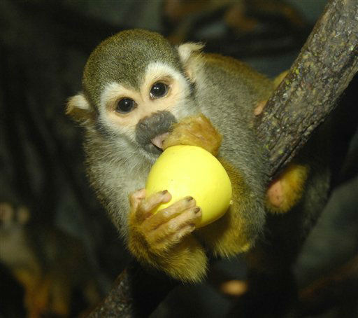 FILE - In this March 19, 2008 file photo provided by the Wildlife Conservation Society, a Squirrel monkey extracts applesauce from an egg container at the Bronx Zoo?s ?Monkey House? in New York. According to a story in the New York Daily News, the Wildlife Conservation Society, who runs the Bronx Zoo, has closed the ?Monkey House? indefinitely. &#40;AP Photo&#47;Wildlife Conservation Society, Julie Larsen Maher, File&#41; <span class=meta>(AP Photo&#47; Julie Larsen Maher)</span>