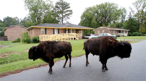 Buffalo roam the streets of flooded historic downtown Windsor, N.C., Sunday, Oct. 3, 2010 after they where set free from a petting zoo. &#40;AP Photo&#47;Jim R. Bounds&#41; <span class=meta>(AP Photo&#47; Jim R. Bounds)</span>