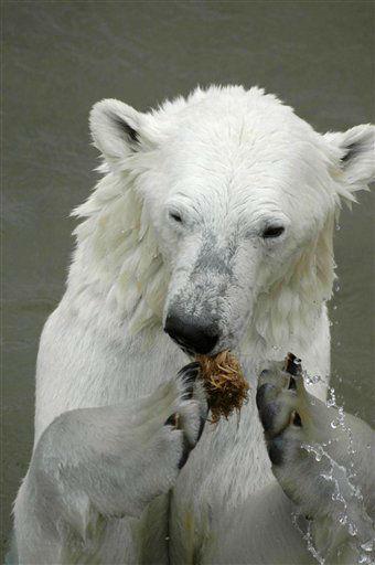 """<div class=""""meta """"><span class=""""caption-text """">Redaktionshinweis: Verwendung des Bildes nur zur redaktionellen Berichterstattung und bei Nennung """"Zoo am Meer Bremerhaven""""! +++ Die Eisbaerin Valeska steht in einem Gehege im Ranua Wildlife Park in Finnland (Handout von 2011). Der Zoo am Meer in Bremerhaven hat am Freitag (20.04.12) eine neue Eisbaerin bekommen. Valeska wurde 2004 im Zoo Rostock geboren und lebte zuletzt mit ihrer Schwester Venus im Ranua Wildlife Park in Finnland, wie Zoo-Direktorin Kueck am Freitag sagte. Der maennliche Eisbaer Manasse habe sich dort aber nicht gut mit Valeska verstanden, sodass ein neues Zuhause fuer das Tier gesucht wurde. (zu dapd-Text) Foto: Zoo am Meer Bremerhaven/dapd (Photo/Zoo am Meer Bremerhaven)</span></div>"""
