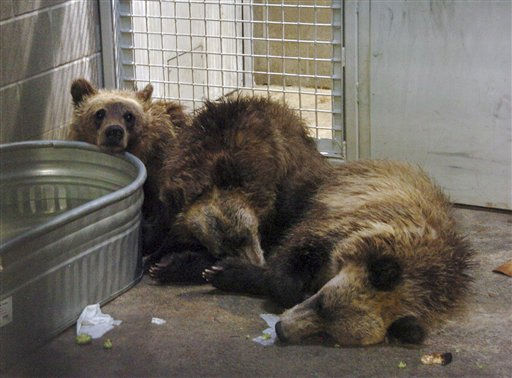 FILE - In this Aug. 2, 2010 file photo, grizzly bear cubs whose mother killed one man and wounded two others near Yellowstone National Park are seen in a holding pen at ZooMontana in Billings, Mont. ZooMontana faces a loss of accreditation that representatives say could force it to give up its tigers, grizzly bears, red pandas and most other animals. &#40;AP Photo&#47;Matt Brown, File&#41; <span class=meta>(AP Photo&#47; Matthew Brown)</span>