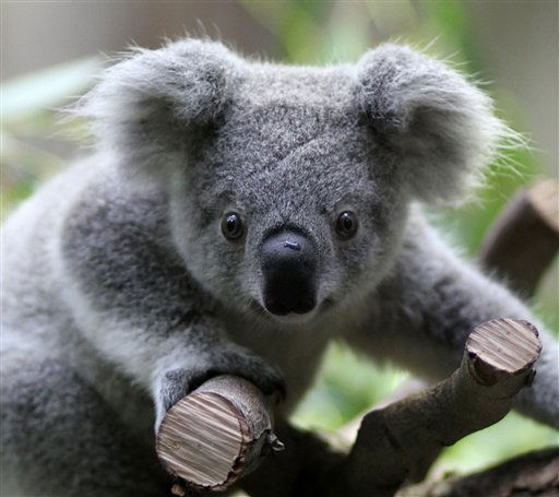 Koala Thalera climbs in his enclosure in the Duisburg Zoo Friday, Sept. 24, 2010. Male Koala Thalera was born on Nov. 7 last year.   <span class=meta>(AP Photo&#47; Juergen Schwarz)</span>