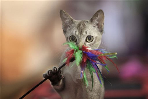 A Singapura cat plays with a toy during an international feline beauty contest in Bucharest, Romania, Sunday, Sept. 26, 2010. Up to 300 cats mainly from countries in central and eastern Europe entered the two day competition. &#40;AP Photo&#47;Vadim Ghirda&#41; <span class=meta>(AP Photo&#47; Vadim Ghirda)</span>