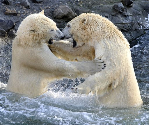 Die Eisbaeren-Maennchen &#40;Ursus maritimus&#41; Nanuq &#40;l.&#41; und Sprinter balgen sich am Donnerstag &#40;30.09.10&#41; im Eisbaeren-Hafenbecken der Erlebnislandschaft Yukon Bay im Erlebniszoo Hannover. Nach Angaben des Zoos seien die beiden knapp drei Jahre alten Eisbaeren bis zum Mittwoch &#40;28.09.10&#41; getrennt gewesen und haetten sich seit der Eroeffnung der Erlebnislandschaft Yukon Bay im Mai 2010 nur durch einen Zaun aneinander gewoehnen duerfen. Den Angaben nach braeuchten die Eisbaeren etwa nach einer Stunde spielerischer Rauferei um die Rangordnung meist eine Verschnaufpause. Gemeinsam trotteten sie dann gewoehnlich den Hang hinauf und schliefen friedlich nebeneinander ein, so der Zoo Foto: Stefan Simonsen&#47;dapd <span class=meta>(AP Photo&#47; Stefan Simonsen)</span>