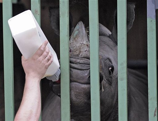 Little rhino Ebun gets milk for the journey in a transport box at the zoo in Muenster, Germany, Thursday, Oct. 7, 2010. The one year old rhino is on the way to a new home at the Longleat Safari Park in England, where it will arrive Friday. &#40;AP Photo&#47;Martin Meissner&#41; <span class=meta>(AP Photo&#47; Martin Meissner)</span>