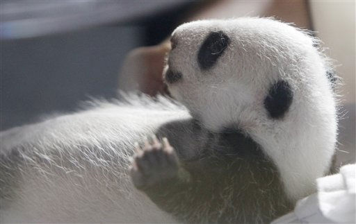 One of two newly born panda bears is seen in an incubator at the Zoo in Madrid Friday, Oct. 8, 2010 in Madrid, Spain. The giant panda cubs, born last month were conceived using artificial insemination. The gender of the cubs is still not known. &#40;AP Photo&#47;Paul White&#41; <span class=meta>(AP Photo&#47; Paul White)</span>