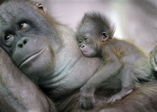 "<div class=""meta ""><span class=""caption-text "">A newly born orangutan baby rests on its mother is the new attraction for visitors at the zoo in Duisburg, Germany, Tuesday, Oct. 12, 2010. The little daughter of mother Amatis was born two weeks ago and has no name so far. She is the 50th orangutan, born at the zoo Duisburg in more than 50 years. (AP Photo/Martin Meissner) (AP Photo/ Martin Meissner)</span></div>"