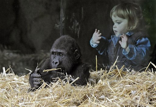 Little Josephine, right, watches little gorilla  Kiburi playing at the zoo in Duisburg, Germany, Tuesday, Oct. 12, 2010. Josephine and Kiburi are both one year old and will celebrate their second bithday later this year. &#40;AP Photo&#47;Martin Meissner&#41; <span class=meta>(AP Photo&#47; Martin Meissner)</span>