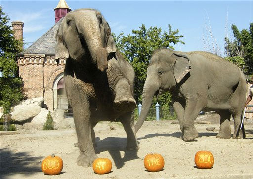 "<div class=""meta ""><span class=""caption-text "">Elephants at the Audubon Zoo play with pumpkin treats given to them by zoo keepers in celebration of upcoming Halloween in New Orleans, Tuesday, Oct. 19, 2010. (AP Photo/Janet McConnaughey) (AP Photo/ Janet McConnaughey)</span></div>"