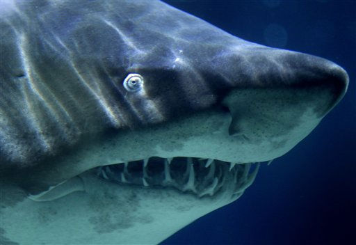 A Sand Tiger Shark swims in its aquarium at the Zoo-Aquarium in Berlin, Germany, Tuesday, Nov. 9, 2010. &#40;AP Photo&#47;Michael Sohn&#41; <span class=meta>(AP Photo&#47; Michael Sohn)</span>
