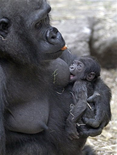 "<div class=""meta image-caption""><div class=""origin-logo origin-image ""><span></span></div><span class=""caption-text"">A baby gorilla born Nov. 3, 2010 nurses as its mother Kiki eats carrots at the Franklin Park Zoo, Tuesday, Nov. 9, 2010 in Boston.  (AP Photo/Mary Schwalm) (AP Photo/ Mary Schwalm)</span></div>"