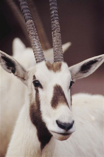 FILE - TO GO WITH ORICE DE ARABIA - This undated file photo provided by the Phoenix Zoo in 2010, shows an Arabian Oryx at the zoo in Phoenix. The antelope made famous in Arabian poetry and by its associations with the unicorn legend had been hunted to near-extinction by 1972. But over the past three decades, it has staged a remarkable comeback through a program that got its start in the Arizona desert and has flourished under the united efforts of several Arabian Gulf countries. &#40;AP Photo&#47;Phoenix Zoo, file&#41; <span class=meta>(AP Photo&#47; Anonymous)</span>