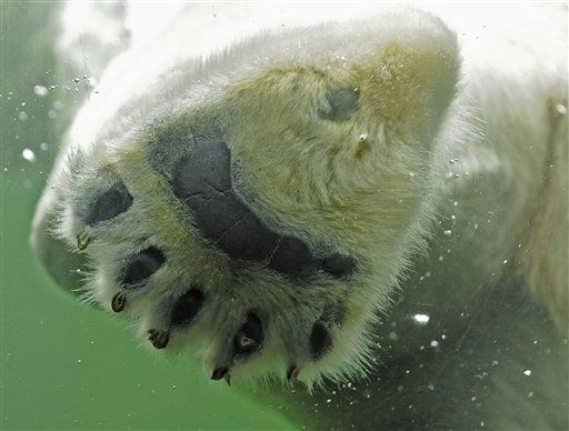 "<div class=""meta ""><span class=""caption-text "">The paw of a swimming polar bear, enjoying the first snow, is pictured  at the zoo in Gelsenkirchen, western Germany, Monday, Nov. 29, 2010. Winter arrives all over Germany with heavy snowfall and ice. (AP Photo/Martin Meissner) (AP Photo/ Martin Meissner)</span></div>"