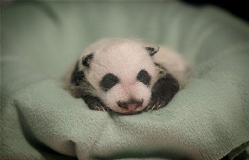 "<div class=""meta ""><span class=""caption-text "">A baby giant panda born Nov. 3 undergoes a veterinary exam at Zoo Atlanta Thursday, Dec. 2, 2010, in Atlanta. (AP Photo/David Goldman) (AP Photo/ David Goldman)</span></div>"