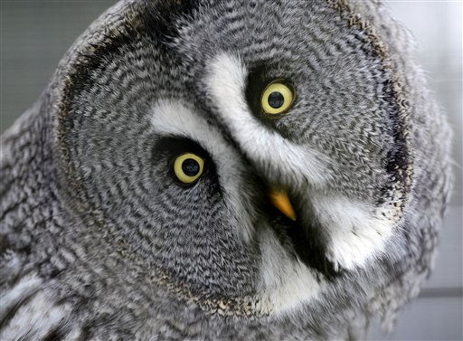 A great gray owl screws his head at the zoo in Muenster, Germany, Monday, Dec. 6, 2010. Winter has arrived in Germany with ice and snow all over the country. Weather forecast predicts changing temperatures with freezing rain and dangerous icing. &#40;AP Photo&#47;Martin Meissner&#41; <span class=meta>(AP Photo&#47; Martin Meissner)</span>