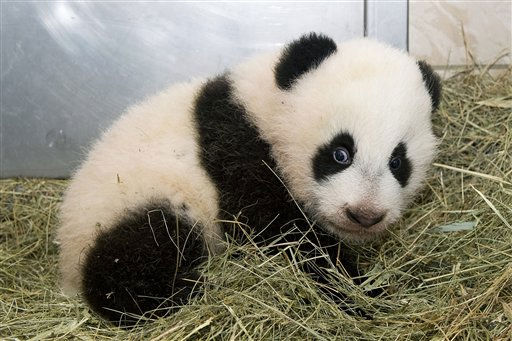"<div class=""meta ""><span class=""caption-text "">Picture released on Monday Dec. 13, 2010 by Tierpark Schoenbrunn in Vienna, Austria, shows young panda Fu Hu (Happy Tiger). Austria's panda cub has snubbed a celebration in his honor, preferring to remain in the cozy hideaway where he was born instead of basking in the limelight. He missed quite a party. Amid much fanfare, the furry creature born Aug. 23 was officially named Fu Hu ? Mandarin for ""Lucky Tiger"" ? at festivities Monday in Vienna's Schoenbrunn Zoo.  (AP Photo/Tierpark Schoenbrunn, Daniel Zupanc) (AP Photo/ Daniel Zupanc)</span></div>"