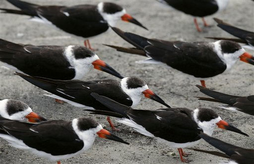 A flock of Black Skimmers face into a cold blustery wind as they huddle together on Ben T. Davis Beach in Tampa, Fla., Monday, Dec. 13, 2010.  Temperatures overnight in Florida are predicted to drop into the upper 20&#39;s, as a cold front pushes through the state. &#40;AP Photo&#47;Chris O&#39;Meara&#41; <span class=meta>(AP Photo&#47; Chris O&#39;Meara)</span>