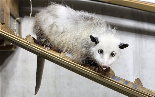 FILE - In this Dec. 15, 2010 file photo, a cross-eyed opossum &#40;didelphis&#41; called Heidi sits in her interim enclosure, in the zoo in Leipzig, Germany. Heidi the cross-eyed opossum is the latest creature to rocket from Germany&#39;s front pages to international recognition, capturing the world&#39;s imagination with her bright, black eyes turned toward her pointed pink nose. &#40;AP Photo&#47;dapd, Sebastian Willnow, File&#41; <span class=meta>(AP Photo&#47; Sebastian Willnow)</span>
