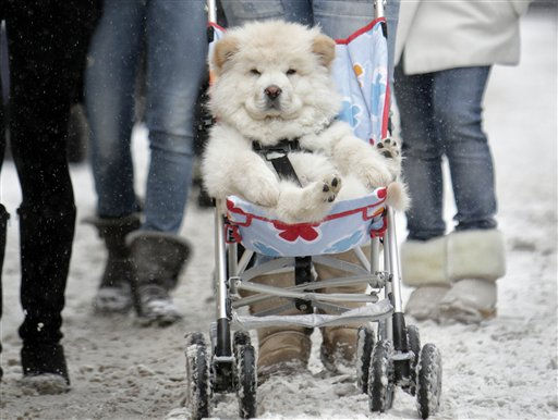 A husky puppy is transported in a child&#39;s push chair,  on a snowy street downtown Bucharest, Romania, Friday, Dec. 17, 2010. Southern Romania is affected by snowfalls with traffic problems reported on many roads. &#40;AP Photo&#47;Vadim Ghirda&#41; <span class=meta>(AP Photo&#47; Vadim Ghirda)</span>