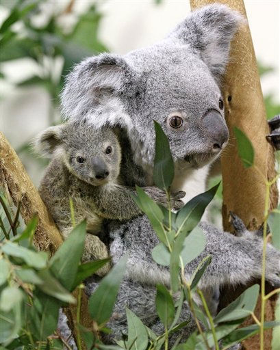 This Dec. 22, 2010 photo provided Wednesday, Jan. 19, 2011 by the Riverbanks Zoo shows Owen, the newest baby koala born at the Riverbanks Zoo and Garden in Columbia, S.C. Zoo officials said Wednesday Owen was born to Jimmie and Lottie in May and has been growing in his mother&#39;s pouch for almost seven months. &#40;AP Photo&#47;Riverbanks Zoo, Richard Rokes&#41; <span class=meta>(AP Photo&#47; Anonymous)</span>