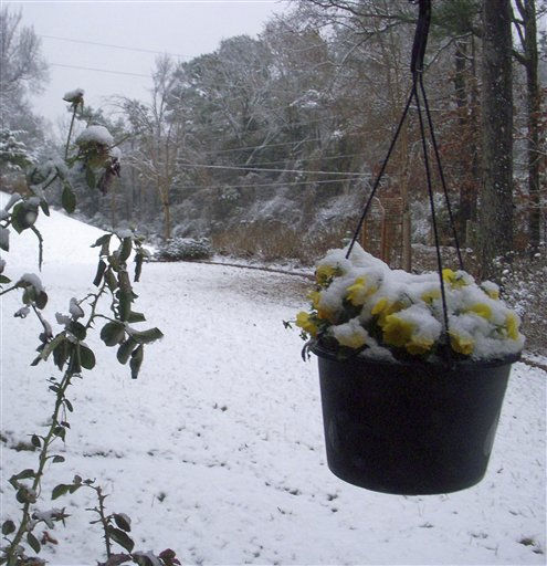 Snow covers roses and a hanging pot of yellow violas in the yard of David and Carol Wedge of Oxford, Miss. on Saturday, Dec. 25, 2010. Parts of north Mississippi had a white Christmas morning, while south Mississippi and south Louisiana had a wet one. &#40;AP Photo&#47;Carol Wedge&#41; <span class=meta>(AP Photo&#47; Carol Wedge)</span>