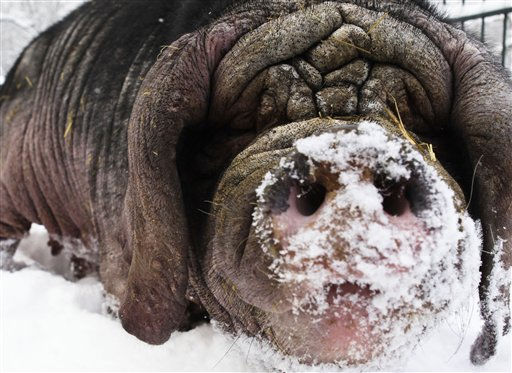 A Meishan pig digs in the snow at the Tierpark zoo in Berlin, Thursday, Dec. 30, 2010. The Tierpark presents a Meishan pig as the good luck pig for the new year 2011. In Germany the pig is a traditional symbol for good luck at the beginning of a new year. &#40;AP Photo&#47;Markus Schreiber&#41; <span class=meta>(AP Photo&#47; Markus Schreiber)</span>