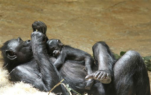 "<div class=""meta image-caption""><div class=""origin-logo origin-image ""><span></span></div><span class=""caption-text"">In a May 25, 2013 photo provided by the Memphis Zoo, a baby bonobo ape born on Mother's Day at the zoo cuddles with its mother ""Kiri"", in Memphis, Tenn. The zoo says the sex of the baby is not yet known, but will be determined in coming weeks. (AP Photo/The Memphis Zoo, Laura Horn)</span></div>"