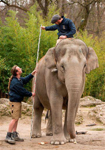 """<div class=""""meta """"><span class=""""caption-text """">Tierpfleger vermessen am Donnerstag (10.01.13) im Tierpark Hellabrunn in Muenchen anlaesslich der Jahres-Inventur Elefantenkuh Mangala. Wie bei anderen Unternehmen findet im Tierpark Hellabrunn jeweils zum Jahreswechsel eine Inventur statt. Im Falle des Tierparks steht allerdings vor allem die Anzahl der Tiere sowie deren jeweilige Daten wie Groesse und Gewicht im Vordergrund. Laut Zoodirektor gehoert Hellabrunn mit insgesamt 19.183 Tieren und 757 Arten zu den tier- und artenreichsten europaeischen Zoos. Das schwerste Tier im Zoo ist den Messungen nach Elefantenkuh Panang mit 4,5 Tonnen, das groesste Tier ist Giraffenbulle Togo mit einer Hoehe von 4,40 Meter und das laengste Tier, Anakonda Anna, misst 4,10 Meter, und das aelteste Tier ist Riesenschildkroete Paul. Demgegenueber nimmt sich das kleinste Tier Bescheiden aus: laut Tierpark nimmt diesen Platz die Blattschneide-Ameise Resi mit nur 0,5 Zentimetern ein. Foto: Joerg Koch/dapd</span></div>"""