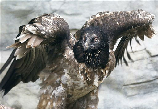 "<div class=""meta ""><span class=""caption-text "">20 months old bearded vulture Fausto spreads its wings as it inspects its new home in the zoo of Frankfurt, Germany, Thursday, Nov. 15, 2012. The vulture is hoped to pair with Riccarda, a female bearded vulture that has been at the zoo for a year. A bearded vulture can reach a wingspan of almost three meters.(AP Photo/Michael Probst) (AP Photo/ Michael Probst)</span></div>"
