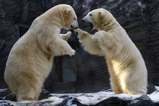 Polar bears fight at the Zoo in Prague, Czech Republic, Tuesday, Jan. 4, 2011. &#40;AP Photo&#47;Petr David Josek&#41; <span class=meta>(AP Photo&#47; Petr David Josek)</span>