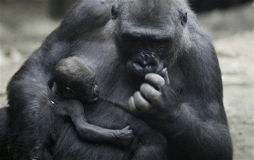 Die 22-jaehrige Gorilladame Dian haelt am Donnerstag &#40;06.01.11&#41; im Zoo in Frankfurt am Main ihren Gorillajungen Quembo in den Armen. Der Gorillanachwuchs ist am 20.Dezember 2010 im Menschenaffen-Haus &#34;Borgori-Wald&#34; des Frankfurter Zoos zur Welt gekommen. &#40;zu dapd-Text&#41; Foto: Martin Oeser&#47;dapd <span class=meta>(Photo&#47;Martin Oeser)</span>