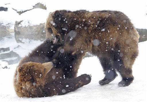 In this photo released by the Wildlife Conservation Society, a pair of brown bears wrestle in the snowfall at the Bronx Zoo in New York, Friday, Jan. 7, 2011. The Wildlife Conservation Society, who manages the Bronx Zoo, rescued the two bears in 2010 after they were orphaned in Alaska. &#40;AP Photo&#47;WCS, Julie Larsen Maher&#41; NO SALES <span class=meta>(AP Photo&#47; Julie Larsen Maher)</span>