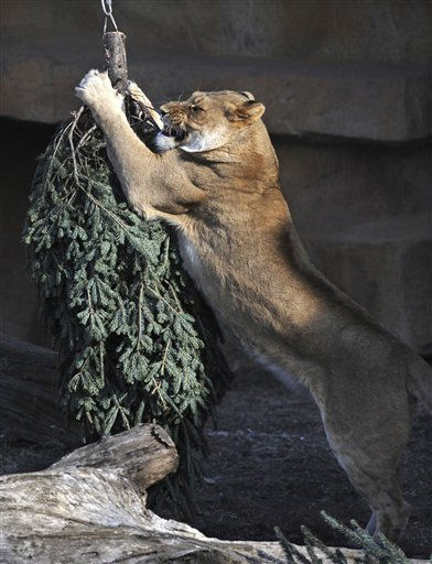 This photo provided by the Chicago Zoological Society shows, Isis, a five-year old African lion at the Brookfield Zoo playing with one of the zoo&#39;s christmas trees that was hung upside down in the lion exhibit to be used as part of the society&#39;s animal enrichment program, Friday, Jan. 7 , 2011, in Brookfield, Ill. &#40;AP Photo&#47;Chicago Zoological Society, Jim Schulz&#41;**NO SALES** <span class=meta>(AP Photo&#47; Jim Schulz)</span>