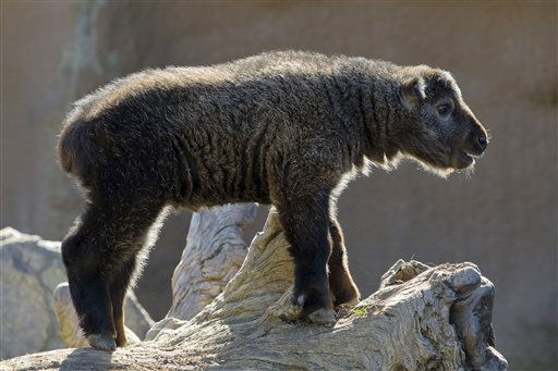 This image provided by the San Diego Zoo shows a 2-week-old Sichuan takin climbing to the highest point in his exhibit on Wednesday Jan. 12, 2011 in San Diego. The kid, who was born on Dec. 28, 2010, was named W?shi, which means 50 in Mandarin, because he is the 50th takin to call the Zoo home.  The first Sichuan takin born outside of China was born at the San Diego Zoo in 1989. Takins are a type of hoofed mammal that is sometimes referred to as a goat antelope because it has things in common with both species.&#40;AP Photo&#47;San Diego Zoo, Ken Bohn&#41; <span class=meta>(AP Photo&#47; Ken Bohn)</span>