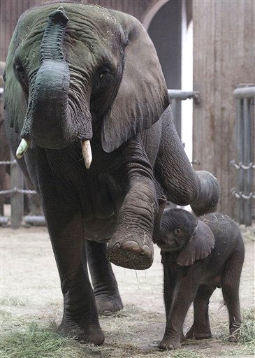 Baby elephant Uli stands close to his mother Sabie in the elephant enclosure at the Zoo in Wuppertal, Germany, Tuesday, Jan. 18, 2011.  Uli, an African elephant, was born on Sunday night weighing nearly 100 kilos &#40;220 pounds&#41;. &#40;AP Photo&#47;Frank Augstein&#41; <span class=meta>(AP Photo&#47; Frank Augstein)</span>