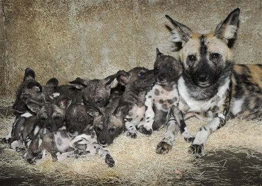 This photo provided by the Chicago Zoological Society shows 10 African wild dog puppies, six males and four females, huddling with their mother, Kim, at Brookfield Zoo in Broofield, Ill., The puppies were born on Nov. 26, 2010, and are currently off exhibit with their mom. They will go on exhibit in their outdoor habitat in early spring. &#40;AP Photo&#47;Chicago Zoological Society, Jim Schulz&#41;  NO SALES <span class=meta>(AP Photo&#47; Jim Schulz)</span>