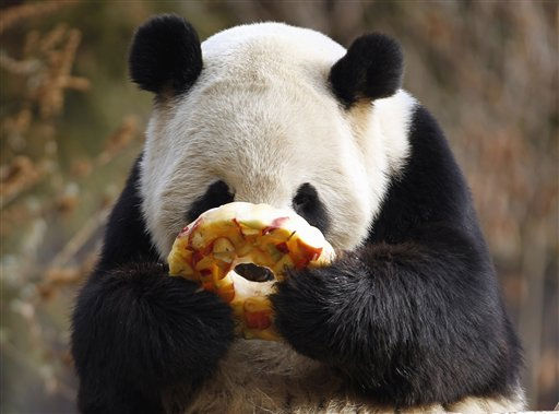 "<div class=""meta image-caption""><div class=""origin-logo origin-image ""><span></span></div><span class=""caption-text"">Female Giant Panda Tian Tian eats an fruitsicle at the National Zoo in Washington, Thursday, Jan. 20, 2011. On Thursday, Zoo Director Dennis Kelly and the Secretary General of the China Wildlife Conservation Association Zang Chunlin signed a new Giant Panda cooperative research and breeding agreement for five more years. (AP Photo/Jose Luis Magana) (AP Photo/ Jose Luis Magana)</span></div>"