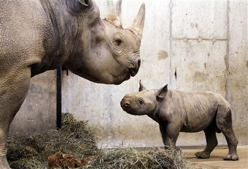 "<div class=""meta ""><span class=""caption-text "">in this photo provided Jan. 25, 2011, by the Saint Louis Zoo, is a baby black rhinoceros calf with his mother, Kati Rain, at the Saint Louis Zoo in Saint Louis. The as yet unnamed male was born at the zoo on Jan. 14 and weighed 120 1/2 pounds.  He is the first black rhino calf to be born at the Saint Louis Zoo in 20 years. (AP Photo/Saint Louis Zoo) (AP Photo/ Anonymous)</span></div>"