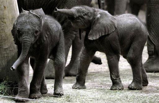 Das Elefantenkalb Shawu &#40;l.&#41; geht am Montag &#40;24.01.11&#41; in Wuppertal im Zoo vor dem Eelfantenkalb Uli her. Vier Tage nach der Geburt von Elefantenbaby Uli am Sonntag &#40;16.01.11&#41; wurde im Zoo in Wuppertal am Donnerstag &#40;20.01.11&#41; eine zweites Elefantenkalb gesund zur Welt gebracht. Foto: Volker Hartmann&#47;dapd <span class=meta>(Photo&#47;Volker Hartmann)</span>