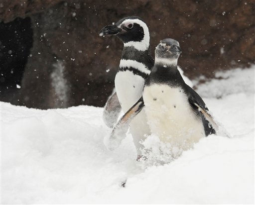 "<div class=""meta ""><span class=""caption-text "">In this photo released by the Wildlife Conservation Society, a pair of male Magellanic penguins are right at home in light snowfall at New York City's Bronx Zoo Tuesday, Jan. 25, 2011. Normally found in southern Chile, Argentina and the Falkland Islands, these two can be seen at Bronx Zoo's Russell B. Aitken Sea Bird Aviary. (AP Photo/WCS, Julie Larsen Maher) NO SALES (AP Photo/ Julie Larsen Maher)</span></div>"