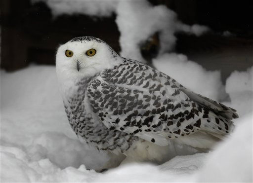 "<div class=""meta image-caption""><div class=""origin-logo origin-image ""><span></span></div><span class=""caption-text"">An snow owl peers out from it's habitat at the Maryland Zoo in Baltimore, Friday, Jan. 28, 2011, in Baltimore. (AP Photo/Rob Carr) (AP Photo/ Rob Carr)</span></div>"