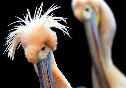 Rosapelikane &#40;Pelecanus onocrotalus&#41; im Balzkleid, aufgenommen am Freitag &#40;28.01.11&#41; im Zoo in Basel &#40;Schweiz&#41;. Im Zolli, wie der Zoologischer Garten Basel auch genannt wird, kann man den Balzschmuck aus naechster Naehe beobachten, da sich die Voegel auch im Winter im Freigehege aufhalten. Sie tragen eine aparte Federhaube auf dem Hinterkopf und haben am Schnabelansatz eine dicke Beule. Beheimatet sind die Voegel an den grossen Seen Ostafrikas. Foto: Winfried Rothermel&#47;dapd <span class=meta>(Photo&#47;Winfried Rothermel)</span>