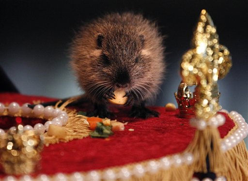 "<div class=""meta ""><span class=""caption-text "">T-Boy, a six week old nutria, referred to by zookeepers as a cajun groundhog, comes out of his hole and looks for his shadow on a mini Mardi Gras float at an event that was a twist on Groundhog's Day at the Audubon Zoo in New Orleans, Wednesday, Feb. 2, 2011. According to zookeeper Paul Benoit, T-Boy saw no shadow and New Orleans can expect a mild spring and a warm Mardi Gras. (AP Photo/Gerald Herbert) (AP Photo/ Gerald Herbert)</span></div>"
