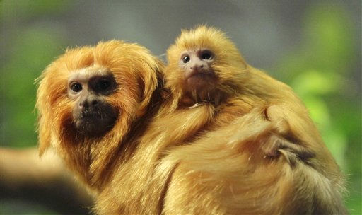 "<div class=""meta image-caption""><div class=""origin-logo origin-image ""><span></span></div><span class=""caption-text"">A baby golden lion tamarin rests on an adult tamarin at the Cleveland Metroparks Zoo Friday, Feb. 4, 2011, in Cleveland. Two baby tamarins were born on Dec. 27, 2010 at the zoo. Golden lion tamarins are orange-colored monkeys. The large amount of hair around the face resembles a lion's mane and accounts for this subspecies' name. (AP Photo/Tony Dejak) (AP Photo/ Tony Dejak)</span></div>"