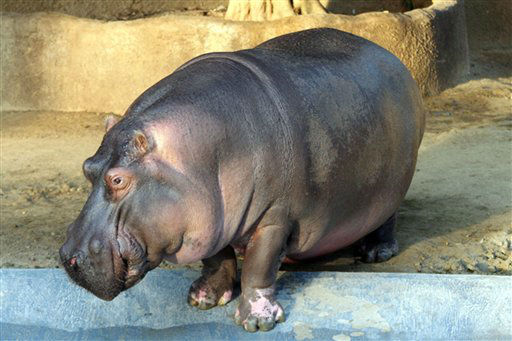 This undated image provided by the Los Angeles Zoo shows the hippo called Jabba, who was euthanized  Friday Jan. 20, 2012 in Los Angeles. Jabba had been under veterinary care for a month and had not been responding to treatment. The zoo did not give specific details about Jabba?s illness, saying the body will be taken to the California Animal Health and Food Safety lab for a complete necropsy. Jabba lived at the San Diego Zoo for many years and fathered several calves before coming to Los Angeles in 2009. &#40;AP Photo&#47;Los Angeles Zoo&#41; <span class=meta>(AP Photo&#47; Anonymous)</span>
