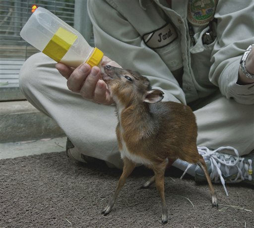 This image provided Tuesday Feb. 8, 2011 by the San Diego, Calif., Zoo shows keeper Janet Hawes bottle-feeding a royal antelope that weighs just 17 ounces. Born on  January 20, the calf was moved to the zoo&#39;s veterinary hospital when he did not nurse and had a low body temperature. The San Diego Zoo has housed royal antelope since 2003, the first zoo in the Western Hemisphere to house this species. The zoo has had 42 royal antelope births. Royal antelope are the smallest of the antelope species and are native to the forests of West Africa.&#40;AP Photo&#47;San Diego Zoo, Ken Bohn&#41; <span class=meta>(AP Photo&#47; Ken Bohn)</span>