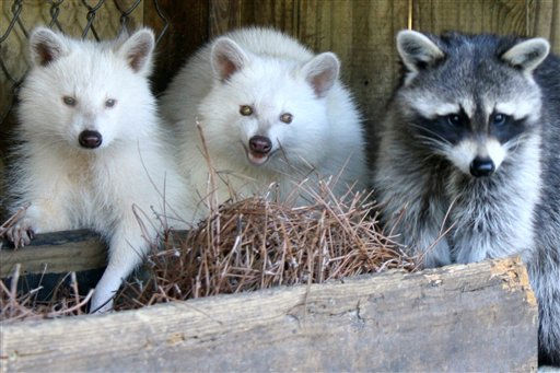 This undated photograph provided by Magnolia Plantation and Gardens in Charleston, S.C., shows two rare albino raccoons, from left, Snowball and Nell, and a normal color raccoon, Chance.   Petting zoo director Chris Smith says that Magnolia&#39;s two raccoons are tame enough to be cared for in the exhibit but won&#39;t be part of the animals that children can pet because they&#39;re still wild animals. Smith says the albino raccoons aren&#39;t safe in the wild because their lack of coloring makes them an easy target for predators. The lack of pigment is caused by a genetic defect. &#40;AP Photo&#47;Magnolia Gardens, Chris Smith&#41;  ** NO SALES ** <span class=meta>(AP Photo&#47; Anonymous)</span>