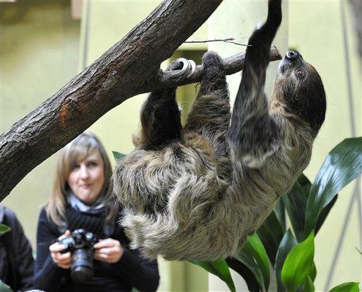 """<div class=""""meta """"><span class=""""caption-text """">Zweifinger-Faultier (Choloepus) Daniel klettert am Donnerstag (10.02.11) In Dresden durch das Gehege im Zoo. Daniel ist Vater eines Faultierbabies, das 502 Gramm wiegt, bisher noch keinen Namen hat und die juengste Attraktion des Dresdner Tierparkes ist. Foto: Matthias Rietschel/dapd Zweifinger-Faultier (Choloepus) Daniel klettert am Donnerstag (10.02.11) In Dresden durch das Gehege im Zoo. Daniel ist Vater eines Faultierbabies, das 502 Gramm wiegt, bisher noch keinen Namen hat und die juengste Attraktion des Dresdner Tierparkes ist. Foto: Matthias Rietschel/dapd   </span></div>"""