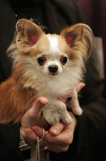 "<div class=""meta ""><span class=""caption-text "">Gogo, a chihuahua, waits to be judged during the first day of the Westminster Dog Show  Monday, Feb. 14, 2011 at Madison Square Garden in New York.   (AP Photo/Jeff Christensen) (AP Photo/ Jeff Christensen)</span></div>"