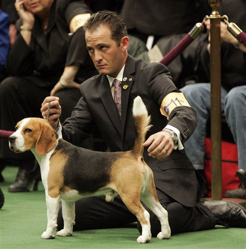 "<div class=""meta ""><span class=""caption-text "">A Beagle waits to be judged during the first day of the Westminster Dog Show Monday, Feb. 14, 2011 in New York's Madison Square Garden.   (AP Photo/Jeff Christensen) (AP Photo/ Jeff Christensen)</span></div>"